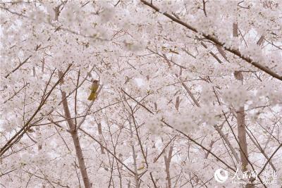 武汉汤逊湖畔一高校近千株樱花盛放 成为赏樱好去处