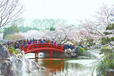 """大数据亮出武汉""""樱花第一城"""":拥有多个""""中国之最"""" 连续5年赏樱热度全国第一"""