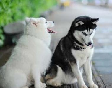 征求意见中!这35种狗禁止在湖北物业区域内个人饲养 哈士奇、萨摩耶、阿拉斯加都上榜