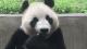 """武汉接""""贵客""""  大熊猫姐妹花来汉找幸福"""