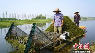 湖北枝江投入3.5亿元治理金湖湿地生态