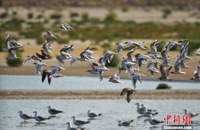 壮观!成群红嘴鸥飞抵青岛胶州湾