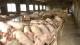 我省出台硬措施 种猪场最高可获200万元补助