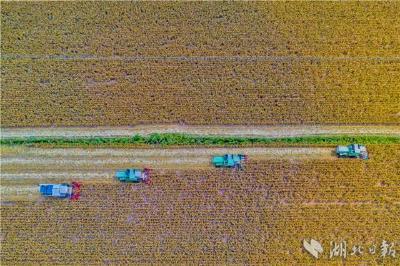 玉米、水稻等农作物陆续成熟,湖北秋收开镰了!