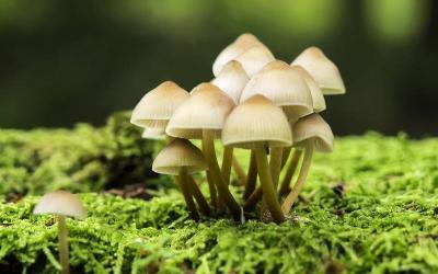 雨后白蘑菇,先后放倒5人