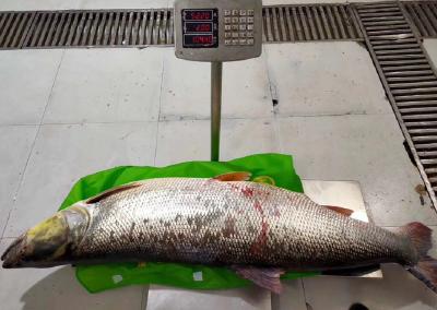 十堰 | 丹江漁民捕獲百斤重鳡魚