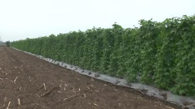 一年三季露天种菜 每亩效益过万元