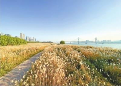 汉口江滩芦苇荡明天开始收割 快去和它道个别