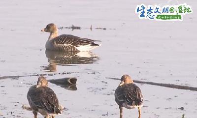 最佳观鸟期来临,万鸟齐飞尽显湿地壮美!