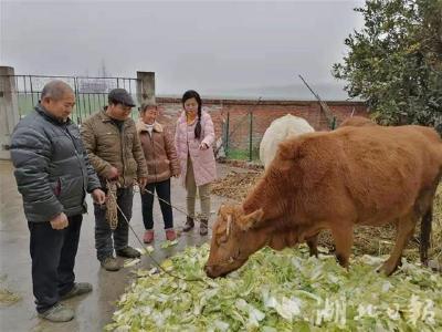脱贫攻坚一线见闻丨大同村:黄牛养殖助力病号户脱贫