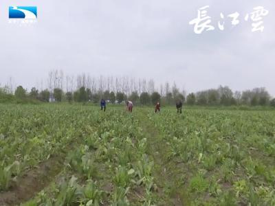 荆州江陵:两省合作社联合  共助菜薹销售