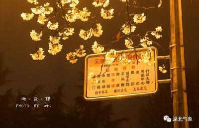 倒计时!武汉樱花即将提前绽放,春天还会远吗?