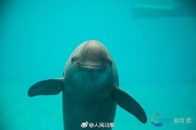 长江江豚拟升级为国家一级保护动物