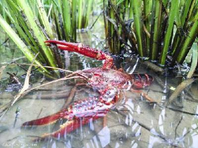湖北启动虾-稻全产业链标准体系建设