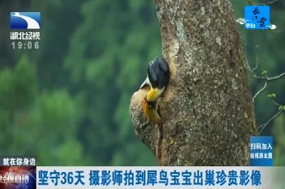 坚守36天 摄影师拍到犀鸟宝宝出巢珍贵影像