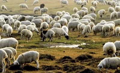 30000只羊,要来了!