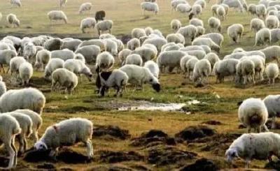 蒙古国捐赠的3万只羊,最新进展来了