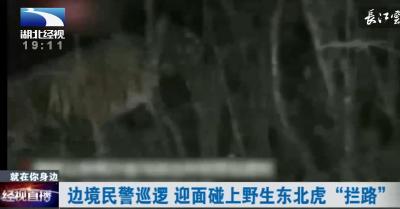 """边境民警巡逻 迎面碰上野生东北虎""""拦路"""""""