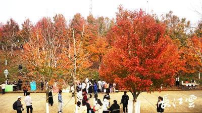 武汉这所高校举办红枫文化节, 万棵红枫惹人醉