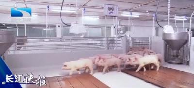 湖北省生猪存栏达2161万头 春节期间猪肉供应充足