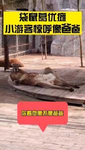 动物园袋鼠休息姿势像极葛优瘫 小游客惊呼像爸爸