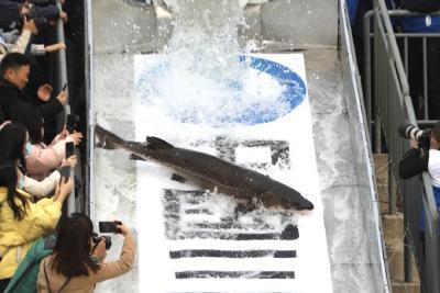 长江十年禁渔,我们的餐桌会受影响吗?
