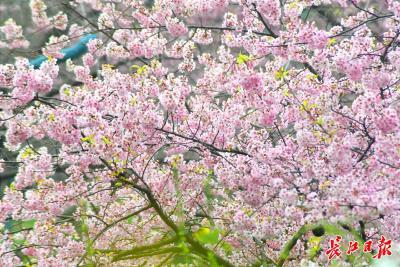 最新樱花预报来了!武大樱花将于26日前后开放,3月5日前后进入盛花期