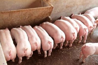 春季母猪如何精细化管理