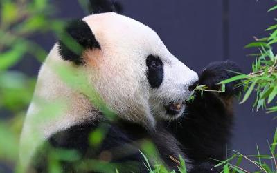 持续加大保护力度 中国大熊猫野生种群增至1864只