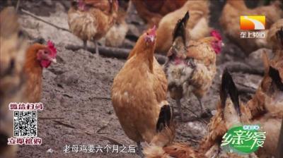 擅跑能飞, 野性十足,这群土鸡中的战斗鸡竟如此鲜美!