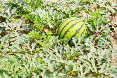 黑美人西瓜高产优质栽培