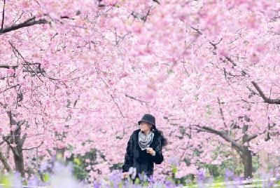 湖北赏花地图 | 芳菲三月间,繁花香湖畔,武汉东湖樱花园开园迎客