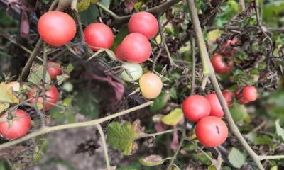 盆栽小番茄的果实出现裂缝咋办?