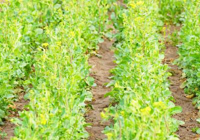 油菜病虫害绿色防控技术