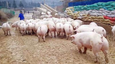 春季生猪疫病防控六要点