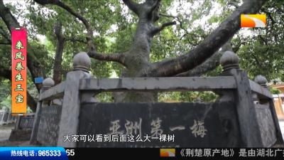 """【来凤养生三宝】这棵""""亚洲第一梅""""杨梅活化石,酿出了来凤人的最爱!"""