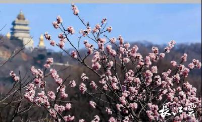 """迎""""三八""""赏樱花 襄阳开行随州大洪山景区专线"""