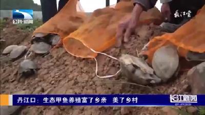 丹江口:生态甲鱼养殖富了乡亲美了乡村