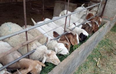 """养羊必看!""""七看一听""""可知羊病"""