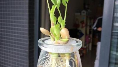 在家培育花生芽的五个方法