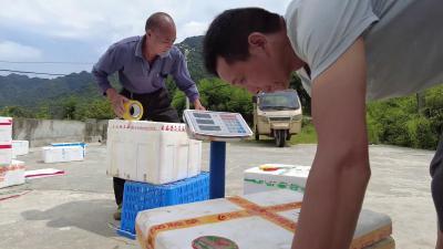南漳:300亩有机蔬菜丰收 价格走俏采摘忙
