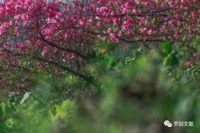 岭上杜鹃红