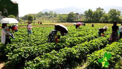 相约文斗河  采摘草莓季