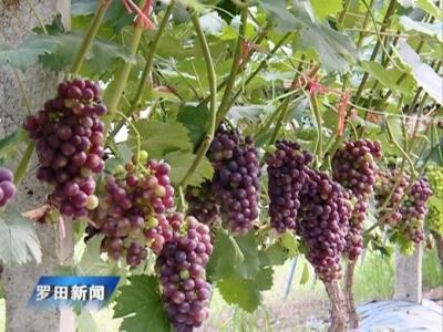 县惠民现代农业产业园的葡萄熟了