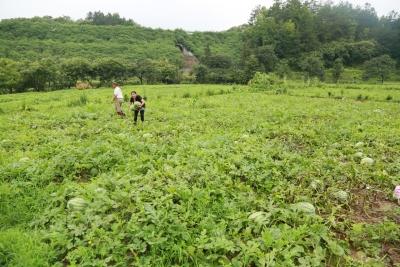 罗田县三里畈镇成功举办第三届西瓜文化旅游节活动