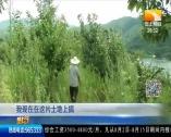 """壟上頻道:""""70后""""華農人 堅守山村種板栗"""