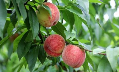 羅田南寶山的桃子熟了,趕緊來一場甜蜜的邂逅吧!