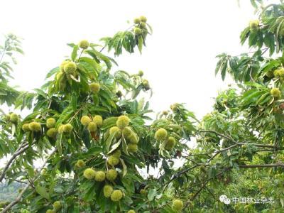 又是一年栗紅時文/圖 高學工 中國林業雜志 昨天