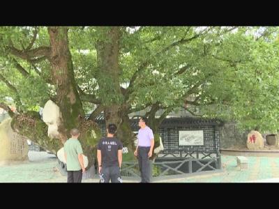 罗田县林业局:全力做好古树名木保护工作