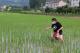 芒种到 稻施肥